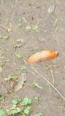 Babosa naranja muerta en el camino