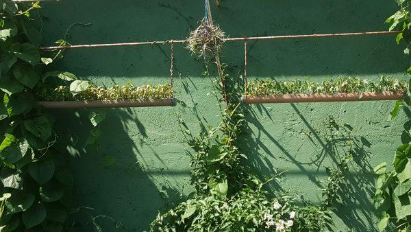 En una pared pintada en color verde, las plantas crecen apoyándose en hierros y en una especie de canalones colgantes. Es un soporte rudimentario pero las plantas se han desarrollado y adaptado muy bien.